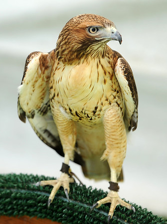 """An injured red tail hawk from  the Rocky Mountain Raptor Program of Ft Collins was on display at the Boulder Creek Festival on Sunday.<br /> For a video and more photos of the Creek Festival on May 26th, go to  <a href=""""http://www.dailycamera.com"""">http://www.dailycamera.com</a>.<br /> Cliff Grassmick / May 27, 2012"""