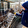 Jasper Hans, 4, feeds a goat an apple during the festivities.<br /> The Boulder Waldorf Kindergarten held its Michaelmas Harvest Festival at the school on Friday.<br /> Cliff Grassmick / October 2, 2009