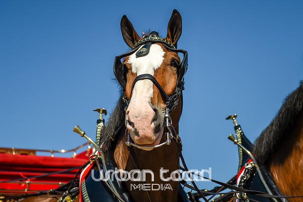 Budweiser Clydesdales 2014