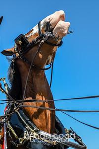Clydesdales15©UTM2014
