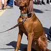 A Red Boned Hound. The real thing.