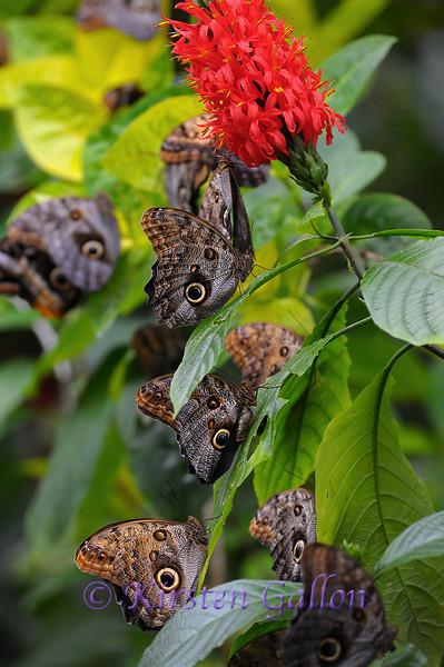 A plant full of Owl Butterflies.