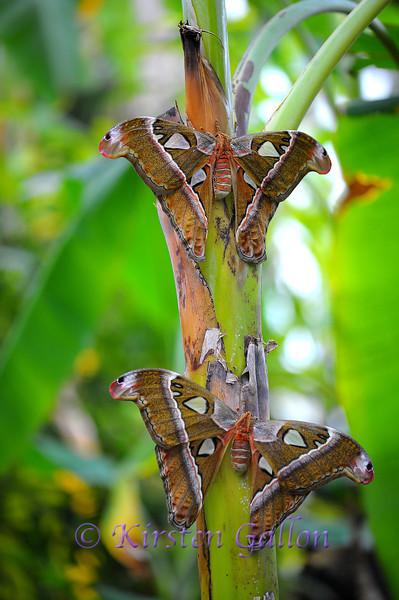 A pair of Atlas Moths