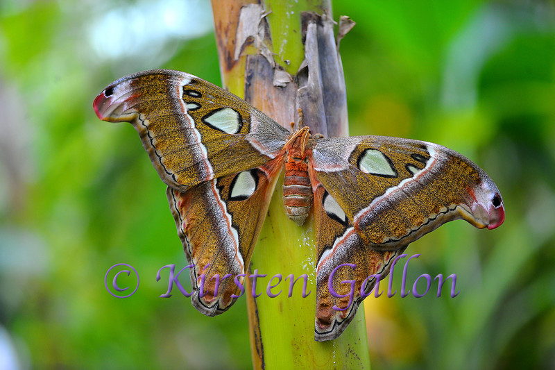 Atlas Moth