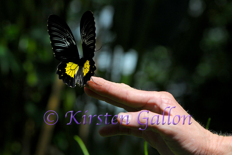 A Common Birdwing being released.
