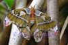 Atlas Moth. Native to Malaysia.