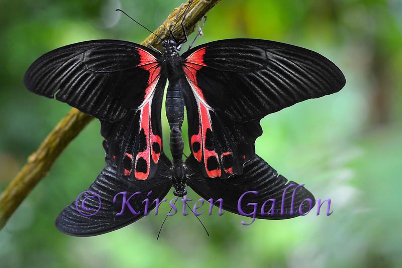 A pair of Scarlet Morman butterflies mating.