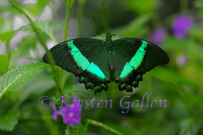 Emerald Swallowtail that has lost it's tails.