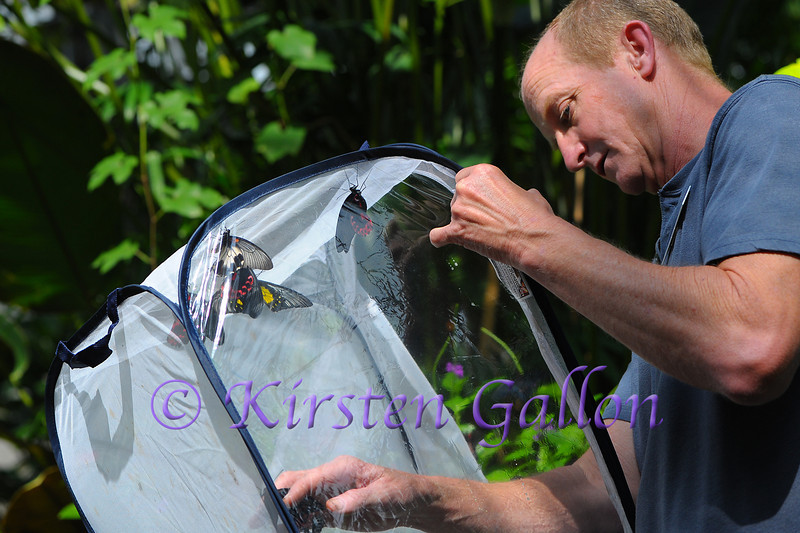 Dale Carter, a local butterfly farmer, releases some of the newly hatched butterflies into the exhibit.