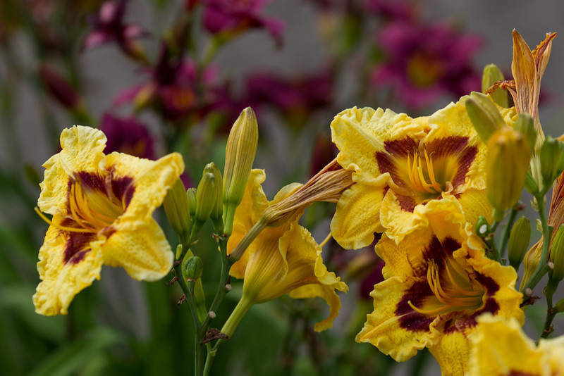 Blackberry Candy Day Lily