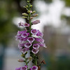 Digitalis purpurea (Common Foxglove)