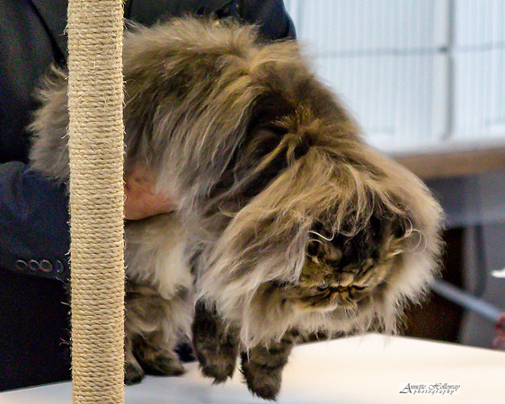 CFA Cat Show in Newport News VA 2-2-2019 by Annette Holloway Photography