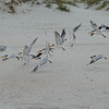 Ponce Inlet - Mainly Royal Terns and some Black Skimmers