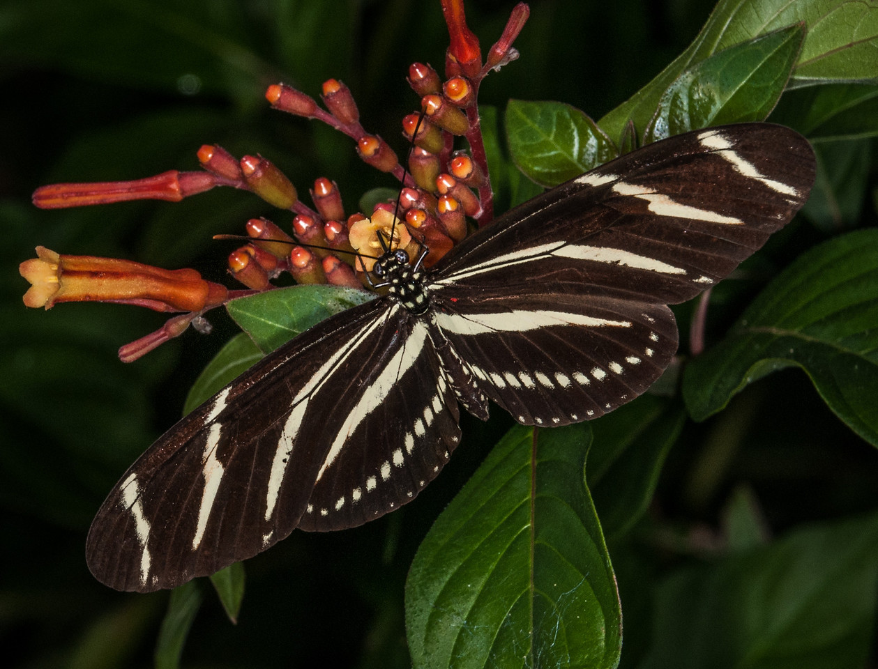 • Location -  Arnold's Butterfly Haven<br /> • Zebra Butterfly