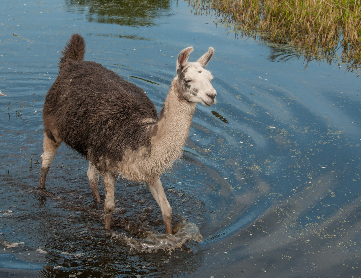 • Location -  Arnold's Butterfly Haven<br /> • The Llama is on the move