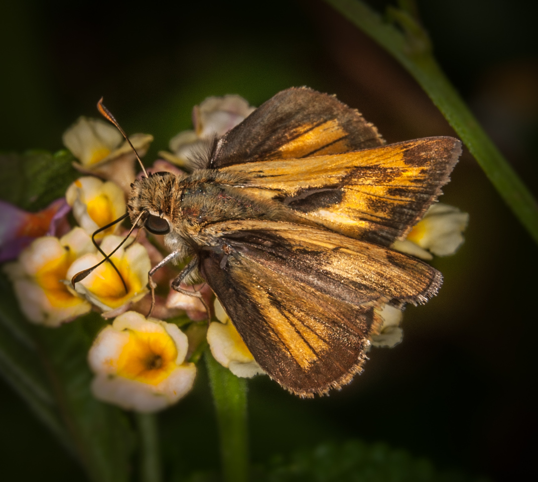 • Location -  Arnold's Butterfly Haven<br /> • Grass Skipper Butterfly