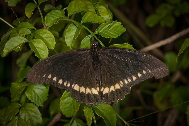 • Location -  Arnold's Butterfly Haven<br /> • Battus Polydamas Butterfly