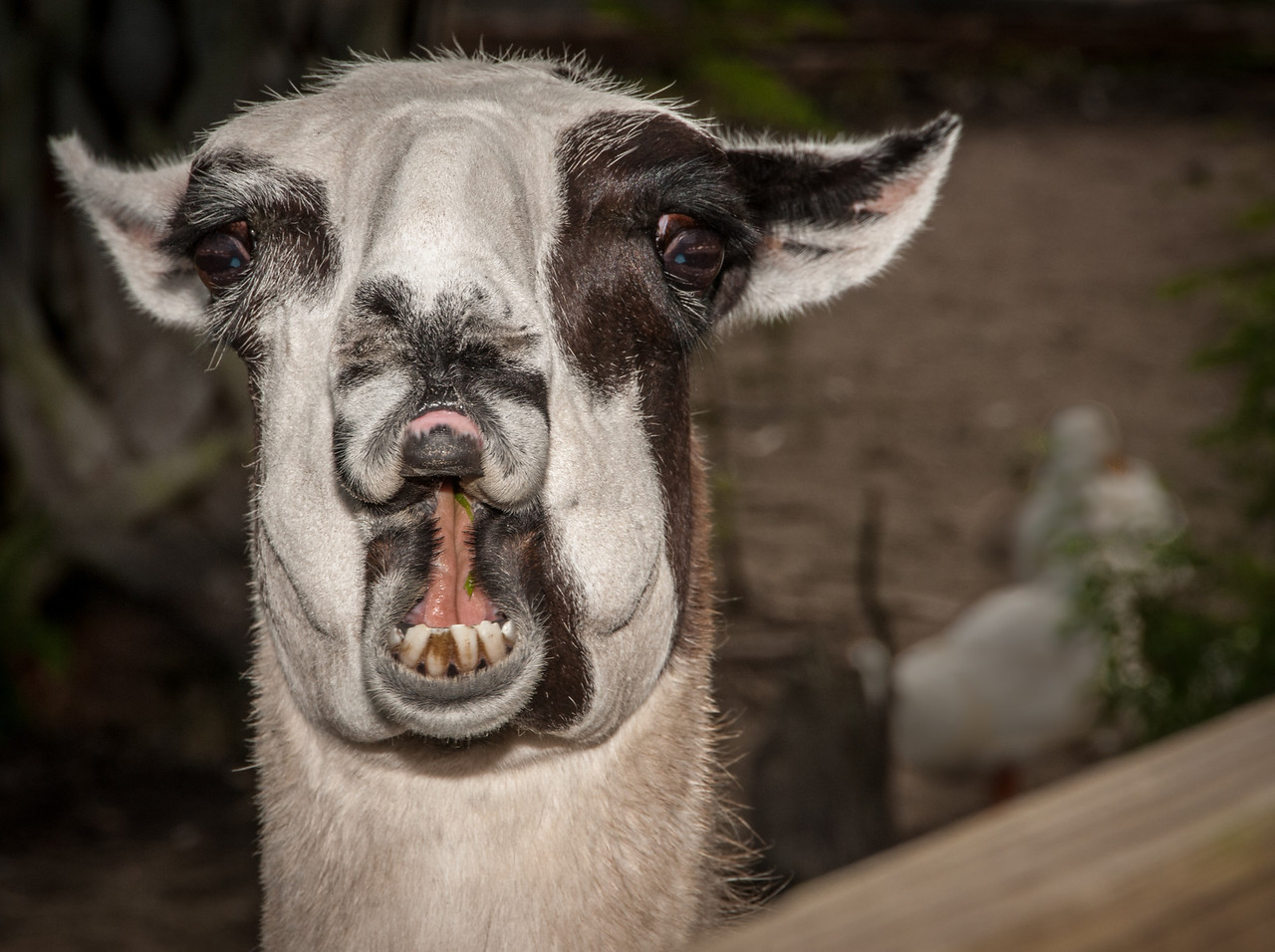 • Location -  Arnold's Butterfly Haven<br /> • Open wide Llama so I can see your teeth