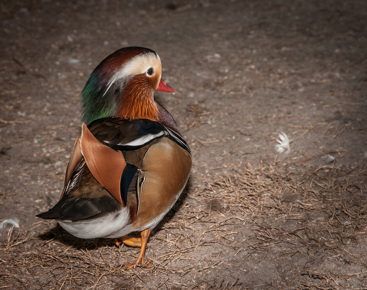 • Location -  Arnold's Butterfly Haven<br /> • Mandarin Duck
