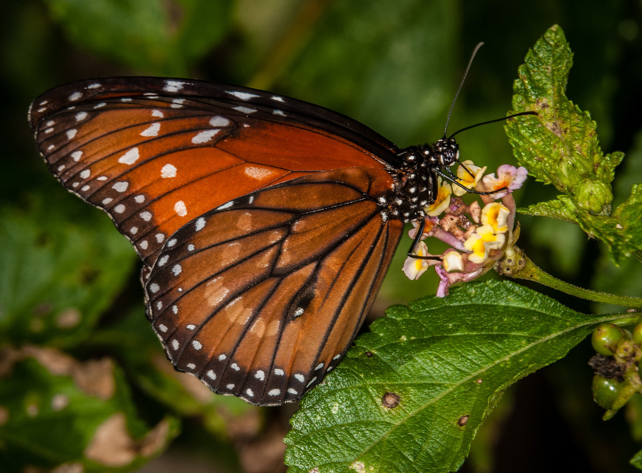 • Location -  Arnold's Butterfly Haven<br /> • Queen Butterfly