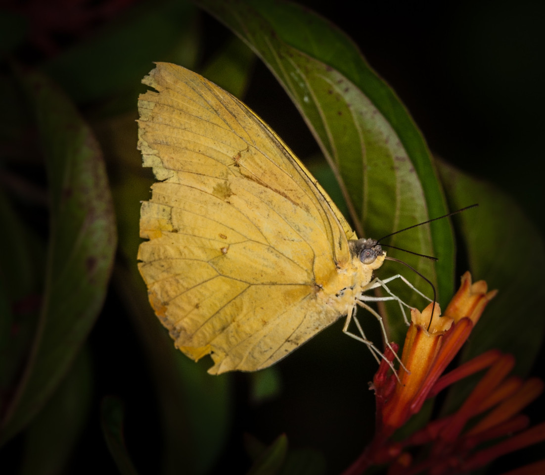 • Location -  Arnold's Butterfly Haven<br /> • Southern Dogface Butterfly