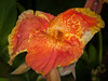 • Location -  Arnold's Butterfly Haven<br /> • Canna Lily