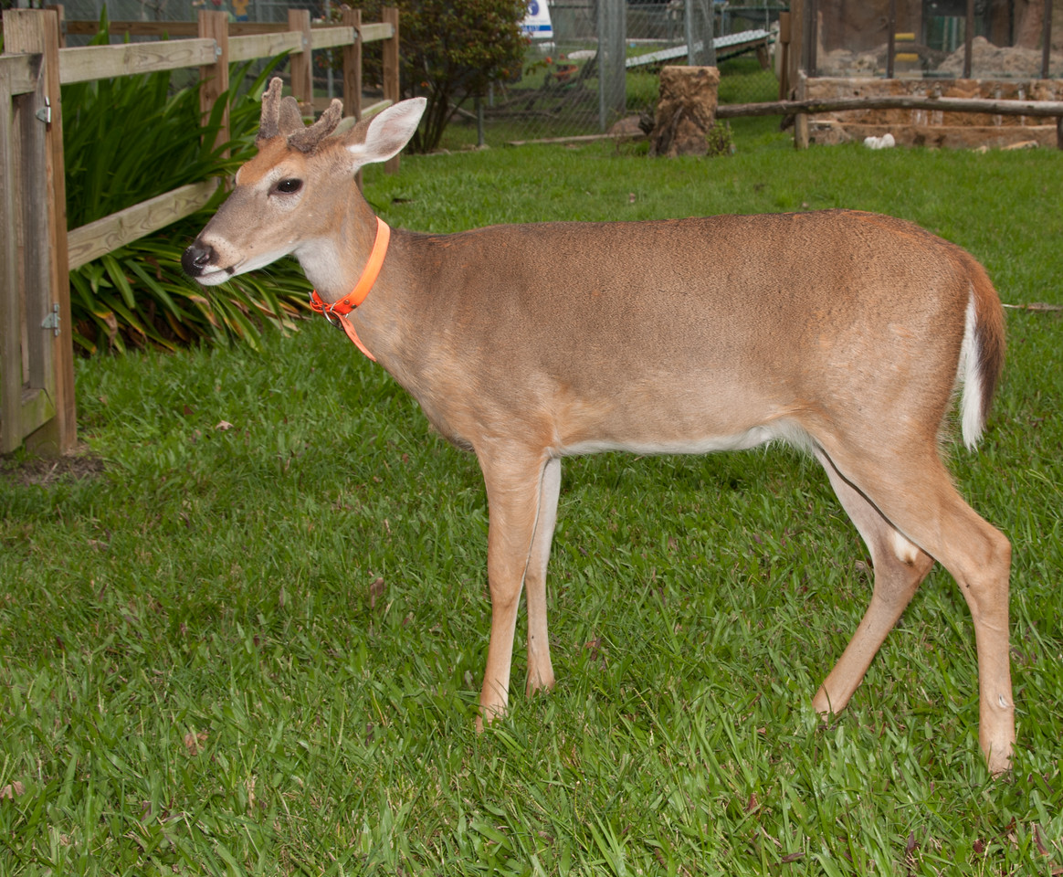 • Location -  Arnold's Butterfly Haven<br /> • One very friendly deer