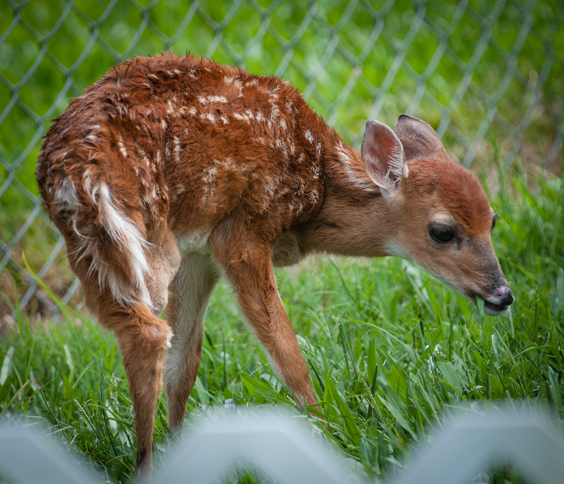 • Location -  Arnold's Butterfly Haven<br /> • Three legged fawn that is being rescued