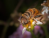 • Location -  Arnold's Butterfly Haven<br /> • Close-up of a Honeybee