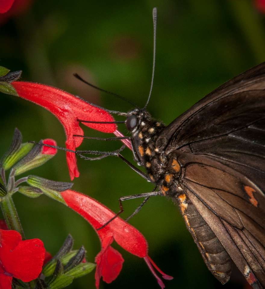 • Location -  Arnold's Butterfly Haven<br /> • Polydamas Swallowtail Butterfly