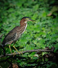 • Blue Heron River Tours<br /> • Green Heron