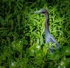 • Blue Heron River Tours<br /> • Little Blue Heron
