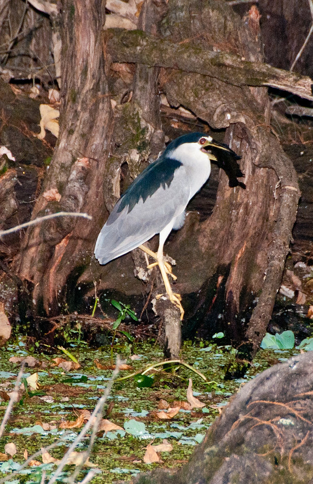 Blue Heron River Tour - Black-Crowned Night Heron with a fish