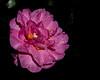 Bok Tower Gardens - Camellia