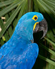 Brevard Zoo - Hyacinth Macaw
