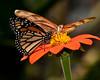 Brevard Zoo - Monarch and Julia Butterflies