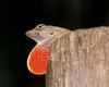 Brevard Zoo - Brown Anole Lizard