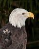 Brevard Zoo - Bald Eagle