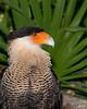 Brevard Zoo - Crested Caracara