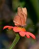 Brevard Zoo - Julia Butterfly