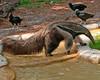 Brevard Zoo - Giant Anteater