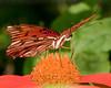 Brevard Zoo - Gulf Fritillary Butterfly