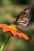Brevard Zoo - Monarch Butterfly