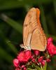 Brevard Zoo - female Julia Butterfly