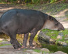 Brevard Zoo - Baird's Tapir