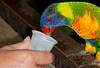 • Brevard Zoo<br /> • Lorikeet eating nectar