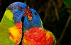 • Brevard Zoo<br /> • A pair Lorikeets kissing each other