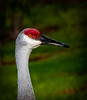 Close-up Sand Hill Crane