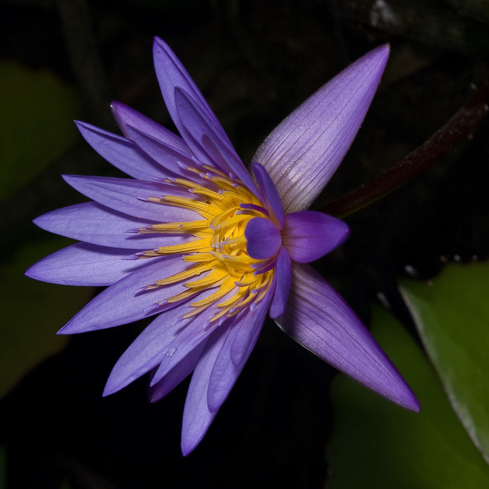 McKee Botanical Garden - Water Lily (Used a flash)