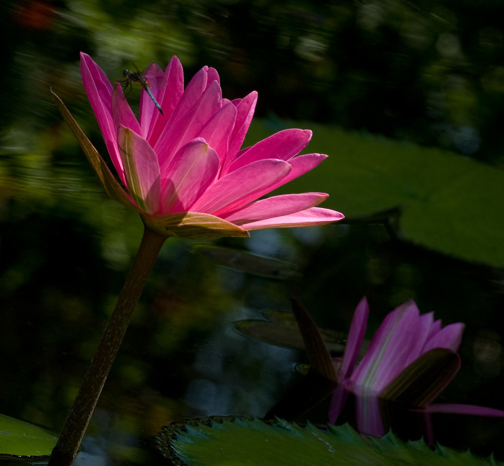McKee Botanical Garden - Water Lily (Natural side lighting)